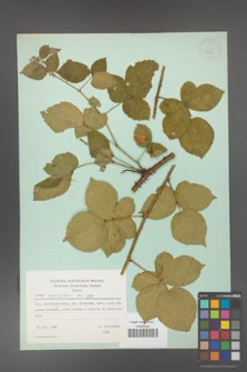 Rubus corylifolius [KOR 23718]