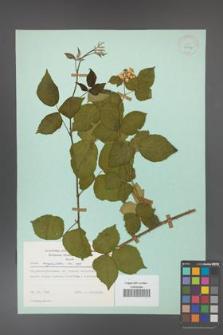 Rubus corylifolius [KOR 23724]