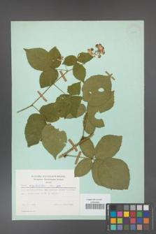 Rubus corylifolius [KOR 23733]