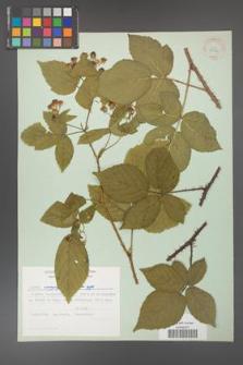 Rubus corylifolius [KOR 30994]