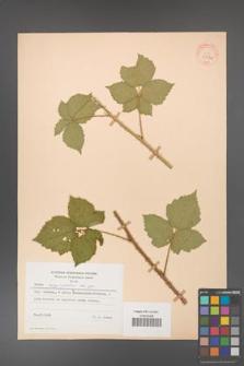 Rubus corylifolius [KOR 31534]