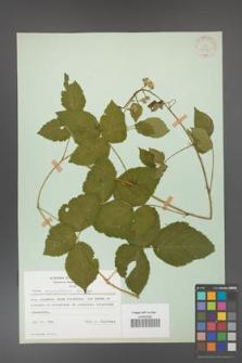 Rubus corylifolius [KOR 30995]