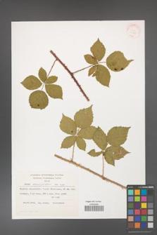 Rubus corylifolius [KOR 31835]