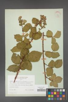 Rubus corylifolius [KOR 31463]