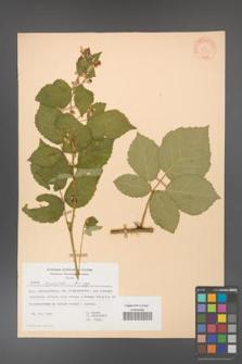 Rubus corylifolius [KOR 31375]
