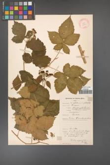 Rubus corylifolius [KOR 10600]