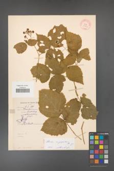 Rubus corylifolius [KOR 10649]