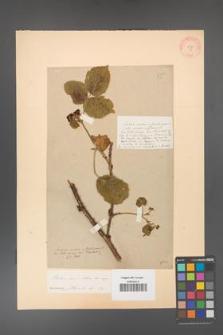 Rubus corylifolius [KOR 55]
