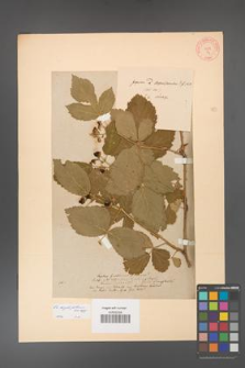 Rubus corylifolius [KOR 54]