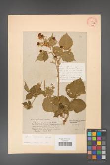 Rubus corylifolius [KOR 64a]