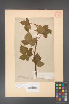 Rubus corylifolius [KOR 63a]