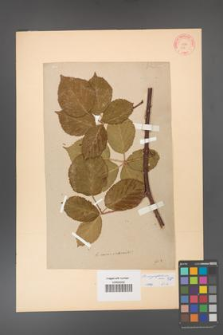 Rubus corylifolius [KOR 62a]