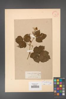 Rubus corylifolius [KOR 65a]