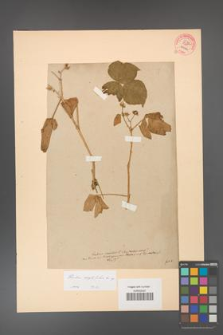 Rubus corylifolius [KOR 51a]