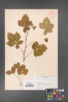 Rubus corylifolius [KOR 10608]