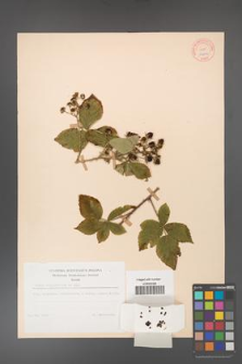 Rubus corylifolius [KOR 10641]