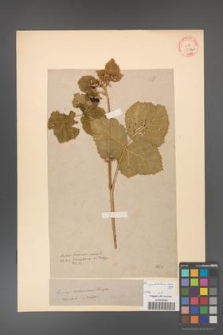 Rubus corylifolius [KOR 58a]