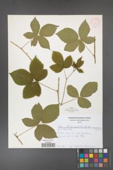 Rubus corylifolius [KOR 52172]