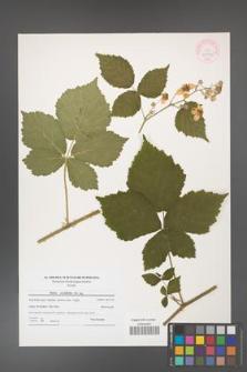 Rubus corylifolius [KOR 44546]