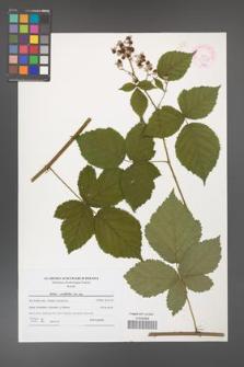 Rubus corylifolius [KOR 44551]