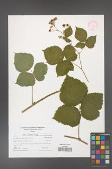 Rubus corylifolius [KOR 44552]