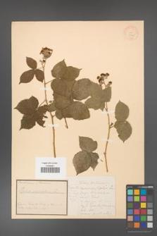 Rubus corylifolius [KOR 18441]