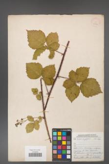 Rubus corylifolius [KOR 29911]