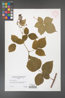 Rubus corylifolius [KOR 46438]