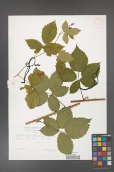 Rubus corylifolius [KOR 29568]