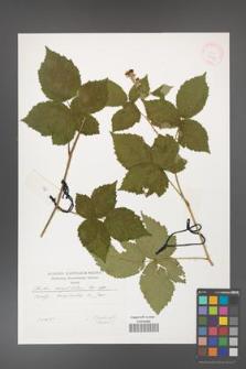 Rubus corylifolius [KOR 29529]