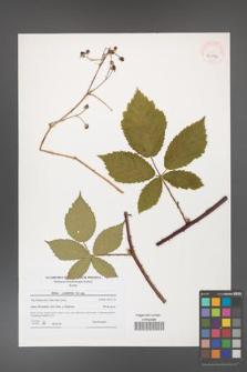 Rubus corylifolius [KOR 40786]