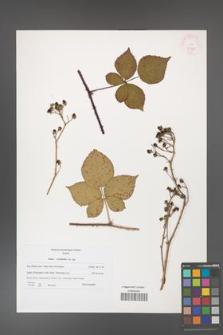 Rubus corylifolius [KOR 45981]