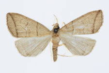 Herminia grisealis