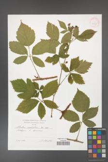 Rubus corylifolius [KOR 41435]