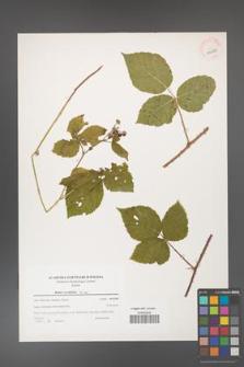 Rubus corylifolius [KOR 39692]
