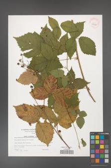 Rubus corylifolius [KOR 39646]