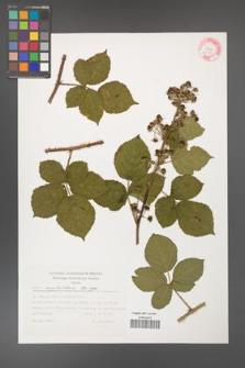 Rubus corylifolius [KOR 32348]
