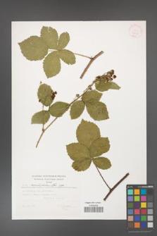 Rubus corylifolius [KOR 32409]