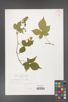 Rubus corylifolius [KOR 32406]