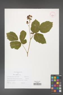 Rubus corylifolius [KOR 46225]