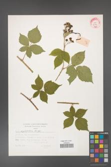 Rubus corylifolius [KOR 32346]