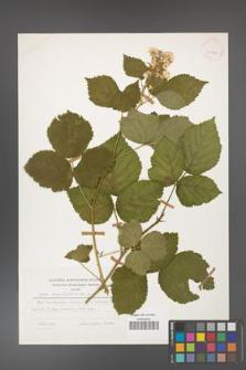 Rubus corylifolius [KOR 25222]