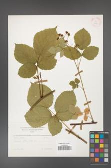 Rubus corylifolius [KOR 25640]