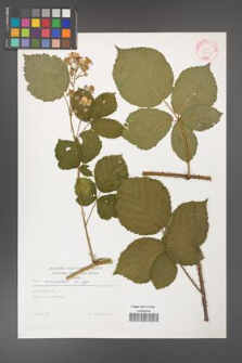Rubus corylifolius [KOR 29255]