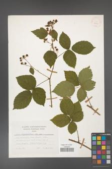 Rubus corylifolius [KOR 24781]