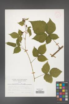 Rubus corylifolius [KOR 24791]