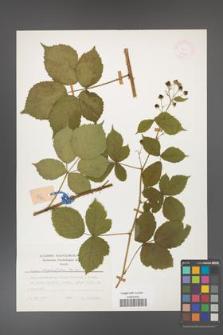 Rubus corylifolius [KOR 24795a]