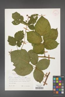 Rubus corylifolius [KOR 53922]