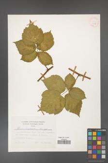 Rubus corylifolius [KOR 24815]