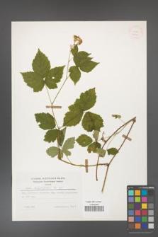 Rubus corylifolius [KOR 25199]